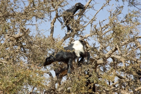 Goats are eating on the tree, argan (Argania spinosa), in the South of Morocco