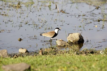 spur winged: Spur winged lapwing plover (Vanelius spinosus)