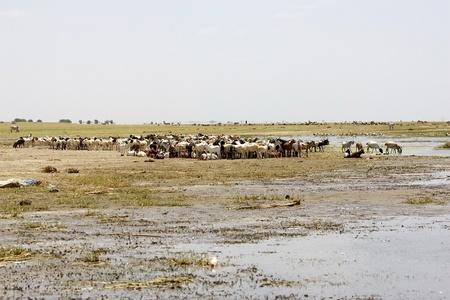heard: Goats heard along the shore of the Turkana lake, Ethiopia.