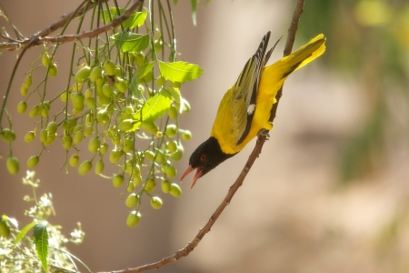 orioles: Ethiopian Oriole (Oriolus monacha). Bird in the wild Stock Photo