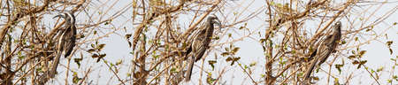 African grey hornbill  Tockus nasutus  on the tree photo