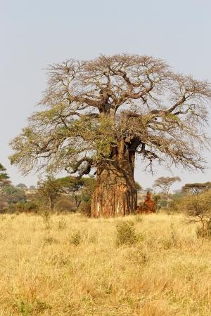 digitata: Baobab  Adansonia digitata  in the african savanna