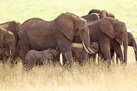 africana: African elephants  Loxodonta africana  with young in the african savanna Stock Photo