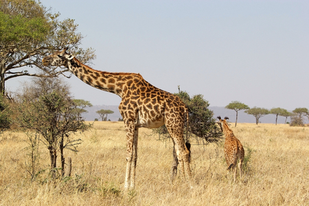 Giraffes (Giraffa Camelopardalis), female and young, in the african savanna photo