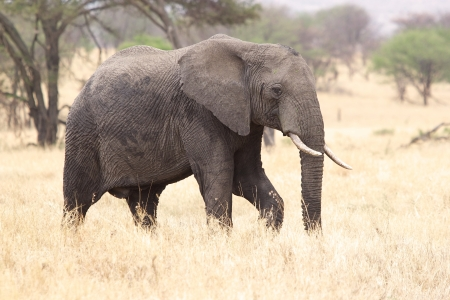 africana: African elephant (Loxodonta africana)  in the african savanna Stock Photo