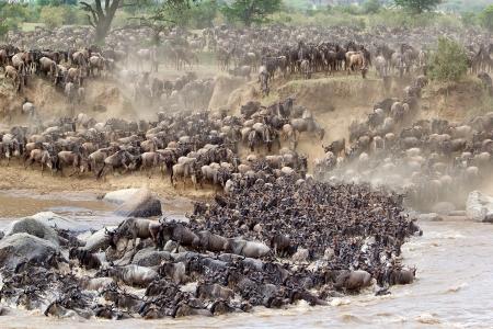 위대한 Wildebeest (Connochaetes taurinus) 이주 : thea 동물 탄자니아 세렝게티 국립 공원에서 마라 강을 건너고 있습니다. 스톡 콘텐츠