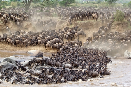 The great Wildebeest (Connochaetes taurinus) migration: thea animals are crossing the Mara river in the Serengeti National Park, Tanzania