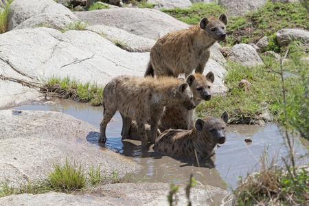 hienas: Hienas manchadas (Crocuta crocuta) en la sabana africana Foto de archivo