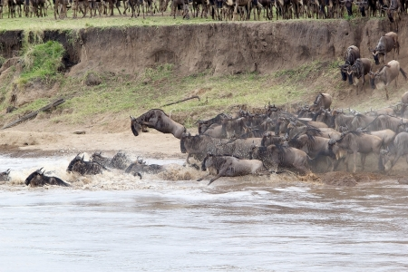 taurinus: Wildebeest (Connochaetes taurinus) migration during the crossing of the Mara river