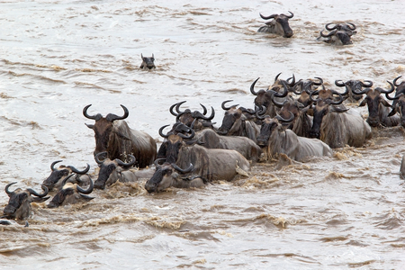 Wildebeest (Connochaetes taurinus) heard is crossing of the Mara river during the migration