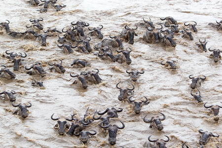 heard: Wildebeest (Connochaetes taurinus) heard is crossing of the Mara river during the migration