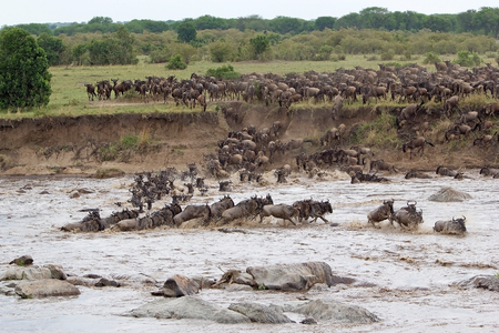 taurinus: Wildebeest (Connochaetes taurinus) heard start the crossing of the Mara river during the migration