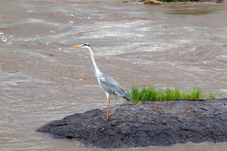 grey heron: Grey heron (Ardea cinerea) near the river