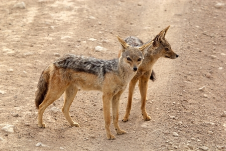 Black backed jackals (Canis mesomelas) in the african savanna photo