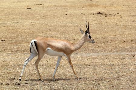 grants: Grants gazelle (Gazella granti) in the african savanna