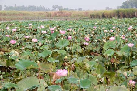 siem reap: Lotus flowers (Nelumbo nucifera) cultivation at Siem Reap, Cambodia