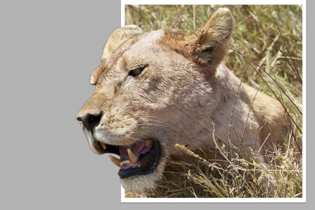 bounds: African lioness (Panthera leo) out of bounds