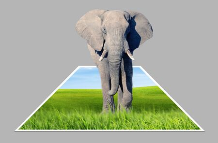 bounds: African elephant (Loxodonta africana) is walking in the african savanna isolated out of bounds Stock Photo