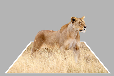 bounds: African lioness (Panthera leo) in the african savanna out of bounds