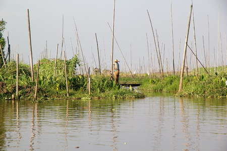 tierra fertil: Cosecha entre los jardines flotantes en el lago Inle, Estado de Shan, Myanmar. Tradicional m�todo de la agricultura wich utiliza una peque�a �reas rectangulares de tierra f�rtil para cultivar en el lecho de un lago poco profundo