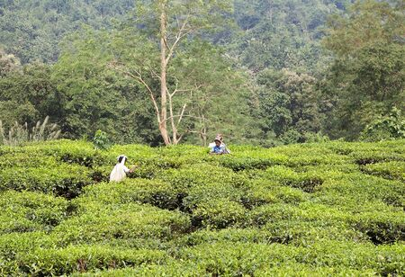 cash crop: Manual harvesting in the tea plantation in West Bengal, India. Agriculture accounts for the largest share of labour force in West Bengal and it is very important for the States gross domestic product. Tea is an inportant cash crop