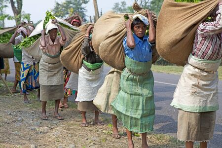 west bengal: Tea harvesters are carrying tea sacks in the tea plantation in West Bengal, India. Agriculture accounts for the largest share of labour force in West Bengal and it is very important for the States gross domestic product. Tea is an inportant cash crop