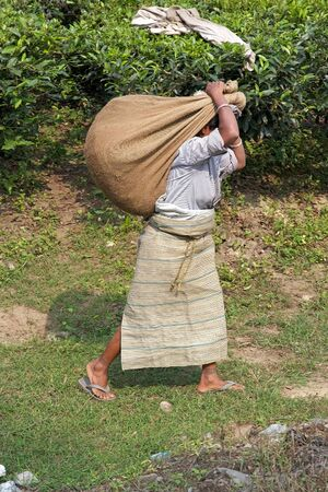 cash crop: Tea harvesters are carrying tea sacks in the tea plantation in West Bengal, India. Agriculture accounts for the largest share of labour force in West Bengal and it is very important for the States gross domestic product. Tea is an inportant cash crop