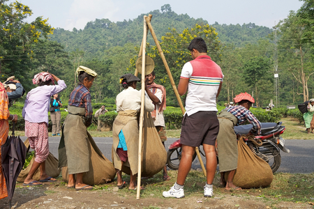 west bengal: Tea harvesters are weighing tea leaves sacks in the tea plantation in West Bengal, India. Agriculture accounts for the largest share of labour force in West Bengal and it is very important for the States gross domestic product. Tea is an inportant cash c