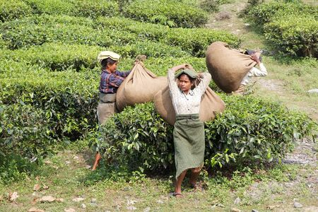 west bengal: Manual harvesting in the tea plantation in West Bengal, India. Agriculture accounts for the largest share of labour force in West Bengal and it is very important for the States gross domestic product. Tea is an inportant cash crop