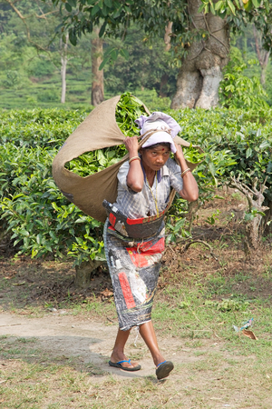 cash crop: Tea harvester is carrying tea sack in the tea plantation in West Bengal, India. Agriculture accounts for the largest share of labour force in West Bengal and it is very important for the States gross domestic product. Tea is an inportant cash crop