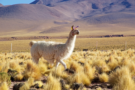 Llama (Lama glama) in the Atacama desert, Chile