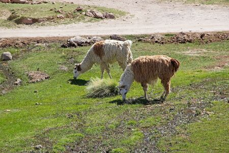tributary: Llamas (Lama glama) at the Caspana village, Chile. Caspana is a Chilean village, 85 km from Calama, in the gorge carved by the river shared its name and that is a tributary of the Salado river.