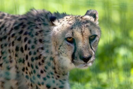 Cheetah (Acinonyx jubatus) portrait. African wildlife Stock Photo