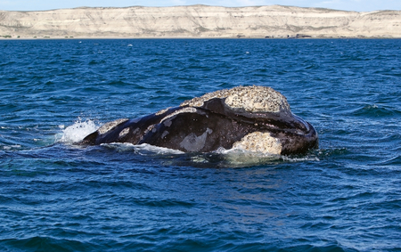 Southern right whale (Eubalaena australis) in Puerto Piramides in the Valdes Peninsula, on the Atlantic Ocean, Argentina