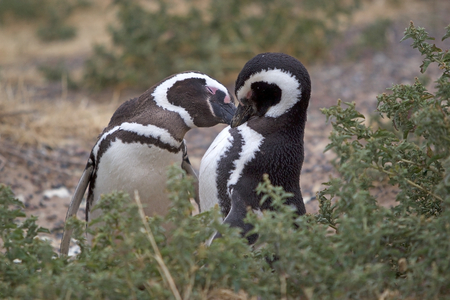 The Magellanic penguins (Spheniscus magellanicus), male and female, at Punta Tombo, the peninsula into the Atlantic Ocean, south of Trelew in Chubut Province, Argentina where there is a large colony of Magellanic penguines, the largest colony in South America Stock Photo
