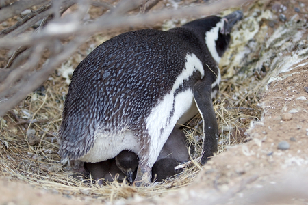 The Magellanic penguin (Spheniscus magellanicus) with chick at Punta Tombo, the peninsula into the Atlantic Ocean, south of Trelew in Chubut Province, Argentina where there is a large colony of Magellanic penguines, the largest colony in South America Stock Photo