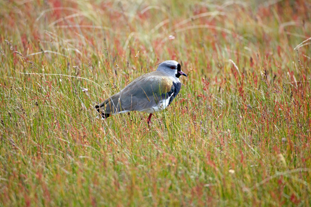 Southern lapwing (Vanellus chilensis) at Laguna Nimez, a wildlife reserve at El Calafate in Patagonia, Argentina. The reserve is a few steps from the city center and close to Lake Argentino. The Laguna Nimez concentrates a varied sample of local wildlife.