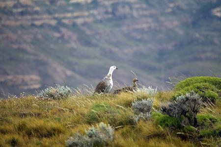 Magellan goose (Chloephaga picta) at the Laguna Nimez, a wildlife reserve at El Calafate in Patagonia, Argentina. The Laguna Nimez concentrates a varied sample of local wildlife.