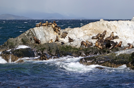Sea Lions on the island in Beagle Channel, Argentina. Sea lion is a sea mammal with external ear flaps and long foreflippers