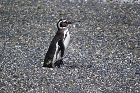 Magellanic penguin along the beach on the island in Beagle Channel, Argentina. Magellanic penguins are medium-size penguins which grow to be 61-76 cm tall and weigh between 2,5 to 6,5 kg