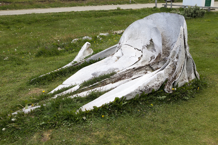 Whale skeleton at museum and laboratory of marine mammals at Estancia Haarberton in Beagle Channel in Tierra del Fuego, Patagonia, Argentina. Estancia Harberton was established in 1886 and it is the oldest farm in Tierra del Fuego