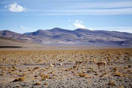 Vicuna in the Puna de Atacama, Argentina. Puna de Atacama is an arid high plateau in the Andes of northern Chile and Argentina. In Argentina Puna's territory is extended in the provinces of Salta, Jujuy and Catamarca