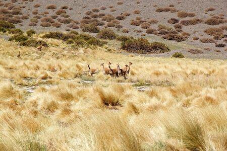 Vicunas along the Quebrada del Diablo at the Puna de Atacama, Argentina. Puna de Atacama is an arid high plateau in the Andes of northern Chile and Argentina. In Argentina Puna's territory is extended in the provinces of Salta, Jujuy and Catamarca Banco de Imagens