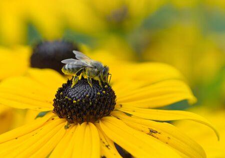 susan: Bee on Black-Eyed Susan