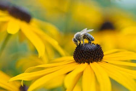 Bee on Black-Eyed Susan
