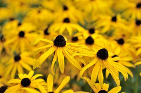 susan: Black eyed susan- rudbeckia flowers