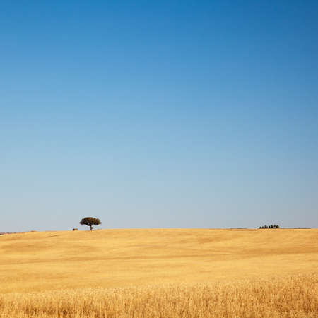 Lonely tree on a golden field with clear blue sky. Alentejo, Portugal. Stock Photo - 14411872
