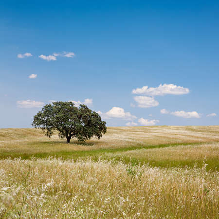 Lonely tree on cultivated farm field with blue sky. Alentejo, Portugal. photo
