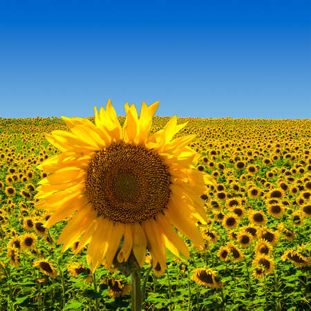 nature photo: A big sunflower standing on a field of sunflowers, in the south of France. Stock Photo