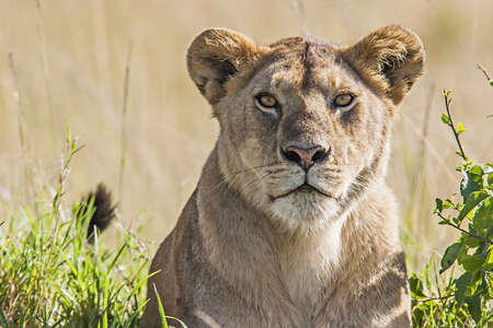 panthera leo: Portrait of a lioness in the savannah in Massai Mara, Kenya. Scientific name: Panthera Leo.